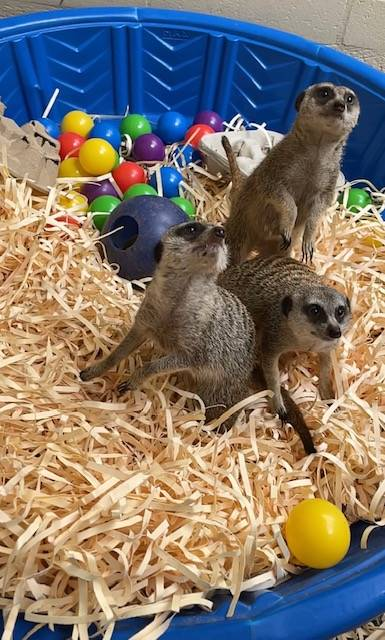 3月のホノルル動物園デビューを待つ3匹のミーアキャット