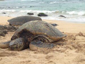 ハワイ ウミガメの保護を支援するよう国民に求めています